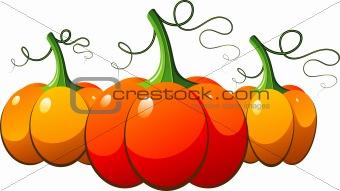 Three orange pumpkins over white