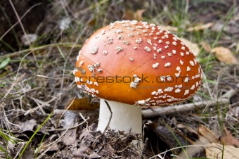 fly agaric fruit body