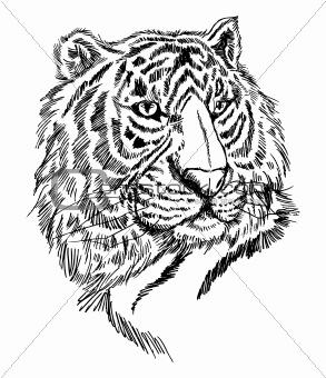 sketch tiger