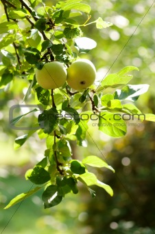 Green apples on an apple-tree branch