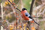 Eurasian Bullfinch