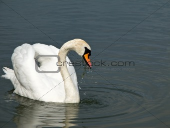 Beautiful swan, Cygnus olor