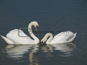 Two Swans, Cygnus olor
