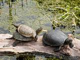 Turtles, European pond turtle, Emys orbicularis