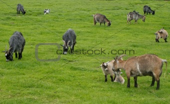 Goats grazing on a meadow