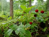 Strawberry in forest