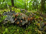 Merchantiophyta - liverworts