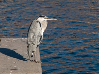 Grey Heron, Ardea cinerea on quay