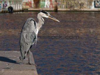 Grey Heron, Ardea cinerea in Harbor