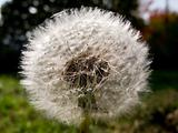 Dandelion clock, Taraxacum officinale