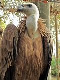 Griffon Vulture, Gyps fulvus