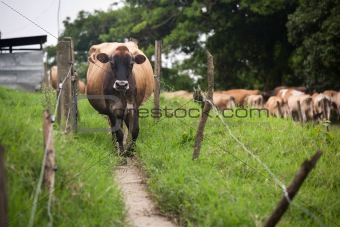 Costa Rican cow
