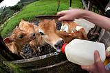 Hungry calf on Costa Rican dairy farm