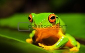 Beautiful Orange thighed green treefrog on a leeaf