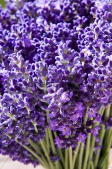 A lavender