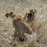 Two cheetahs in a grass.