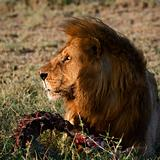 Supper of a lion.