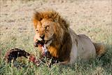 Supper of a lion. 2