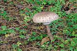 The parasol mushroom (Macrolepiota procera)