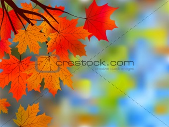 Autumnal maple, background.