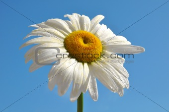 Chamomile with dew drops over blue sky