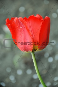 Beautiful tulip with dewdrops