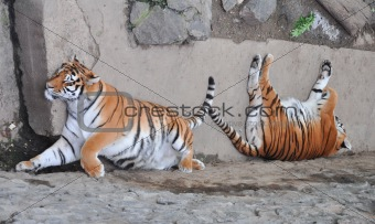 tigers are sleeping
