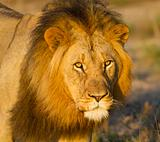 Lion male portrait