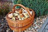 Full basket of fresh autumn mushroom, founded in forest