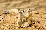 Two Suricata suricatta