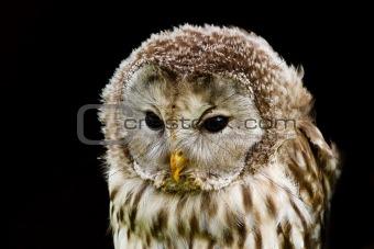 portrait Ural Owl, Strix uralensis, a nightbird