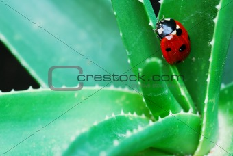 Ladybird on aloe
