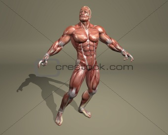 3d muscular system