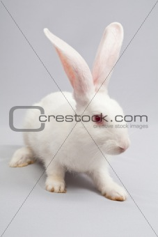 white rabbit with a gray background