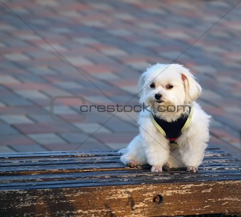 Bichon Frise on a Bench