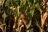 ears of corn on stalks