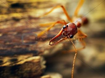 A giant bulldog ant (Myrmecia brevinoda)