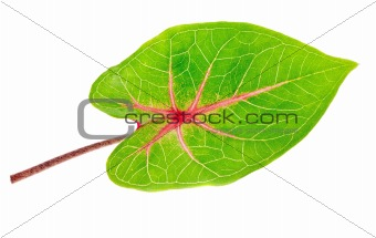 A beautiful lush green and red leaf. Isolated over white with cl
