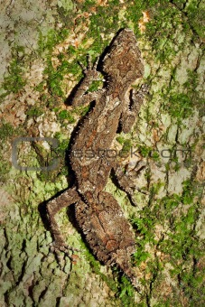 Beautiful Leaftail Gecko (Saltuarius cornutus) sitting on trunk