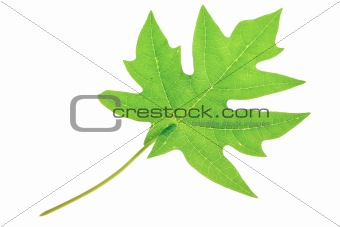 A beautiful lush green pawpaw or papaya leaf. Isolated over whit