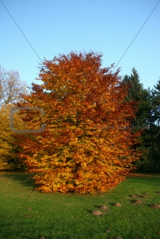 Autumnal beech tree in the park Karlsaue in Kassel, Germany