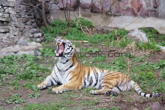 Amur tiger with an open fall