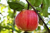 Ripe red apple on the branch