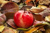 Red ripe apple fallen in autumn leaves