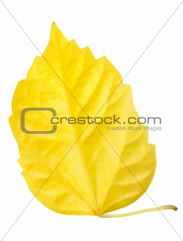 One yellow leaf isolated on white background
