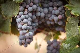 Lush, Ripe Wine Grapes on the Vine