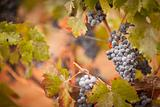 Lush, Ripe Wine Grapes with Mist Drops on the Vine Ready for Harvest.