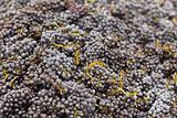 Beautiful Lush, Ripe Harvested Red Wine Grapes Background.
