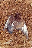 Dead bird's body
