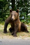 Young wild bear sitting on the grass